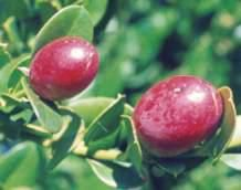 Carissa Macrocarpa fruits Large Num-num/Natal Plum Grootnoemnoem S A no Natal Plum, Fruit Trees, Bonsai, Scenery, Apple, Vegetables, My Favorite Things, Flowers, Plants
