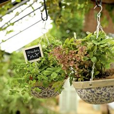 These ceramic hanging baskets are put to good use by combining herbs and fruit for maximum visual and aromatic impact. This is the perfect decorating idea for those with little or no garden.