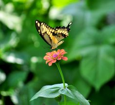 A giant swallow tail performs a delicate ballet on a zinna