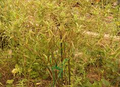 What I've found with Swamp Milkweed, Asclepias incarnata, in St. Louis MO is that it only lives for about three years, sometimes only two years in a typical home garden setting. While it prefers a ...
