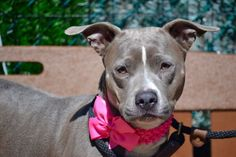 SAFE❤️❤️ 4/20/16 Brooklyn Center GRACE – A1069200 FEMALE, GRAY / WHITE, PIT BULL MIX, 4 yrs OWNER SUR – EVALUATE, NO HOLD Reason CHILDCONFL Intake condition EXAM REQ Intake Date 04/02/2016, From NY 10306, DueOut Date 04/02/2016,