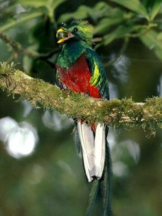 The resplendent quetzal is an aptly named bird that many consider among the world's most beautiful. These vibrantly colored animals live in the mountainous, tropical forests of Central America where they eat fruit, insects, lizards, and other small creatu Weird Birds, Rare Birds, Kinds Of Birds, Exotic Birds, Tropical Birds, Colorful Birds, Beautiful Birds, Animals Beautiful, Rare Animals
