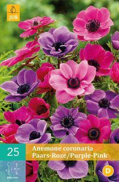 Anemone cor. Lilla og rosa miks - pakke á 25 stk. løk