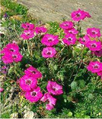 Geranium cinereum Splendens