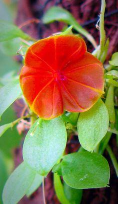 Miniature-orchid / Micro-orquidea: Lepanthes telipogoniflorum