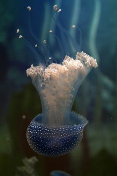 Australian spotted jellyfish (via / Kopfüber by Grit Ende) Underwater Creatures, Underwater Life, Ocean Creatures, Under The Water, Life Under The Sea, Medusa, Beneath The Sea, Life Aquatic, All Nature