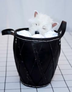Molly - West Highland White terrier