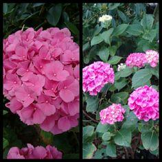 Nog meer roze nu van de   Hydrangea.
