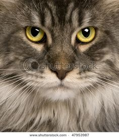 A close up of one of my favourite cat breeds, the Maine Coon. looks like my fizzy....I miss her so much