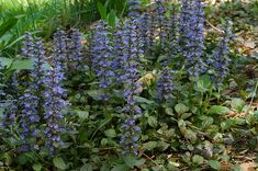 Ajuga Reptans - Make sure to visit GardenAnswers.com and download our free plant idenfication app.