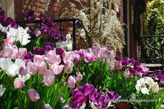A Rose is a Rose...: Tulip Madness at Filoli