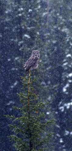 Rare Great Gray Owl near Cooke Pass during a snowstorm (by Cassie).