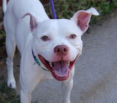 SAFE 8-30-15 Brooklyn Center - GHOST aka EUGENE – A1002315 (Alternate ID#A1047741)  MALE, WHITE, PIT BULL MIX, 1 yr STRAY – STRAY WAIT, NO HOLD Reason STRAY Intake condition EXAM REQ Intake Date 08/13/2015, From NY 11210, DueOut Date 08/16/2015,
