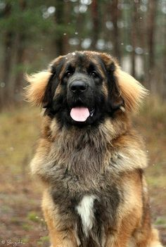 Leonberger, a German dog bred specifically to look like a lion.