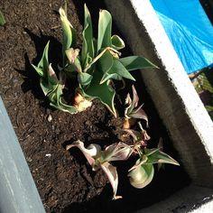 #GuglielmoScilla Guglielmo Scilla: Erano tulipani prima che il mio pollice verde li spogliasse di ogni dignità.