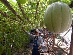 Meglepő újításokkal is kísérletezik a csorvási biokertész Pumpkin, Fruit, Gardening, Pumpkins, Lawn And Garden, Squash, Horticulture