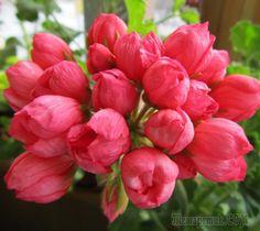 тюльпановидная герань