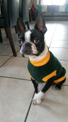 Springbok supporter ♡ Cape Town, Four Square, Boston Terrier, City, Dogs, Animals, Animales, Boston Terriers, Animaux
