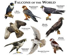 Falcons of the World Art Print by Wildlife Art by Roger Hall - X-Small Love Birds, Beautiful Birds, Animals Beautiful, Unique Animals, Animal Species, Bird Species, Animals Of The World, Animals And Pets, Bird Identification