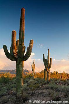 Sagauro cactus at sunset, Fountain Hills, Arizona.
