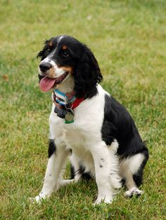 Medium Dog Breeds on Pinterest | Medium Dogs, Dog Breeds and Polish ...