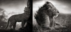 (left) Leopard in crook of tree, Nakuru, 2007-(right) Lion Before Storm,  Mas Mara, 2006