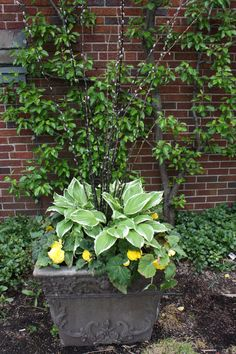 hosta, pussy willow and yellow begonia