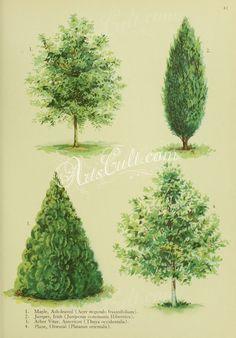 Ash-leaved Maple, acer negundo fraxinifolium, Irish Juniper, juniperus communis hibernica, American Arbor Vitae, thuya occidentalis, Oriental Plane, platanus orientalis   ...