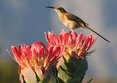 Beautiful bird sitting on a Protea, which can often be seen in #Cape Town