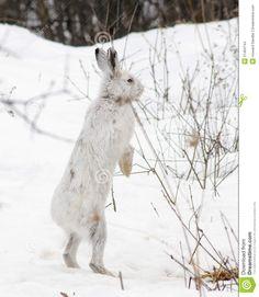 Snowshoe Standing