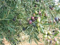 Olives Cornicabra