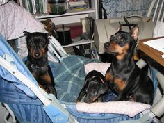 Shar, Bit, Data...when we went to town, that was their stroller, and they would all three ride in it and I would take them into the stores.