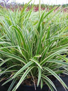 Ophiopogon noir plantes pour jardin japonais pinterest deuxi me nom couvre sol et contraste - Couvre sol jardin japonais ...