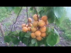 Caisii din sâmburi 18 06 2017 - YouTube Garden Trees, Gardening, Make It Yourself, Youtube, Wall, Garten, Lawn And Garden, Garden, Square Foot Gardening