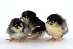 Black Australorp Chicks