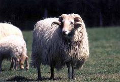 Xaxi Ardia sheep