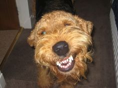 Smiling Airedale. I miss my Airedale. She smiled just like this.