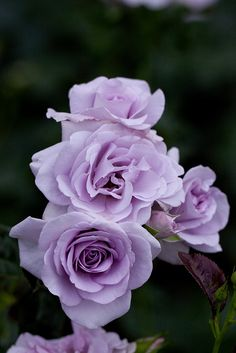This rose has shades of lavender ~ 'Blue Bajou Rose' Beautiful Rose Flowers, My Flower, Pretty Flowers, Lavender Roses, Purple Flowers, Lavender Blue, Growing Roses, Love Garden, Types Of Flowers
