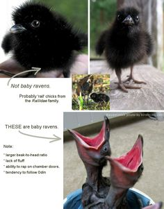 Not a baby raven