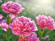 PAEONIA ALEXANDER FLEMING Small Flowers, Summer Flowers, Pink Flowers, Pink Peonies, Camelia Rosa, Horticulture, Phlox Plant, Growing Peonies, Cottage Garden Design