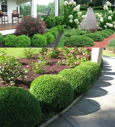 Green Velvet Boxwood (Buxus Microphylla) - Zone 4-9 Part-Full Sun 3'-4' Height/Width. Dense evergreen shrub with glossy dark green foliage and a naturally rounded shape will keep it's compact shape and color. Tolerant of pruning and shearing. Heat, Cold, and humidity resistant. Prefers moist, average, well drained soil. Shallow rooted-benefits from mulch. Best suited as a low-growing or border hedge and formal designs. Widely used by professionals. Propagate by cuttings.