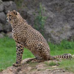 Parque naturaleza #cabarceno #guepardo #animalelite #allnatureshots #animalplanet #animal_captures #bestnatureshots #cantabria #discoverearth #fabshots #fabfaunas #holidays #in_world #ic_animals #love_natura #luv4nature #nikon_nature #nikonphotography #nature_perfection #natureonly