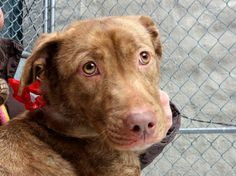 URGENT - Manhattan Center    LUICY - A0991528   FEMALE, BR BRINDLE / BLACK, PIT BULL MIX, 1 yr, 2 mos  STRAY - EVALUATE, NO HOLD Reason STRAY   Intake condition NONE Intake Date 02/12/2014, From NY 11420, DueOut Date 02/15/2014 Main thread: https://www.facebook.com/photo.php?fbid=757233660956182&set=a.617938651552351.1073741868.152876678058553&type=3&permPage=1