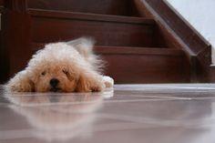 Toy Poodle omg it's sooooooo cute