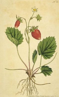 """""""One-leaved Strawberry"""""""
