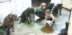4-year-old dumps food on kitchen floor – now watch the pit bulls' reaction