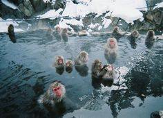 Jigokudani Monkey Park (地獄谷野猿公苑 Jigokudani Yaen Kōen) is in Yamanouchi, Shimotakai District, Nagano Prefecture, Japan It is part of the Joshinetsu Kogen National Park (locally known as Shigakogen), and is located in the valley of the Yokoyu-River, in the northern part of the prefecture.