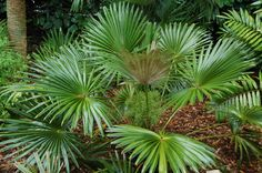 Guihaia argyrata (Dainty Lady Palm; Guilin Dwarf Palm) - native to southern China and northern Vietnam - grows to 1.8m