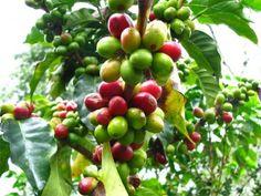 Kona Coffee Plant Coffea Arabica Kona Hawaii - 20 Fresh Seeds. Grow your own coffee plant.