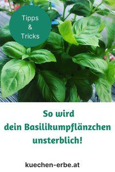 In diesem Artikel erfährst du, weshalb Basilikum aus dem Supermarkt oft nicht lange durchhält und wie du deinem Pflänzchen zur Unsterblichkeit verhilfst! Plant Leaves, Plants, Blog, Ice Lemon Tea, Roots, Tips And Tricks, Garten, Flora, Blogging